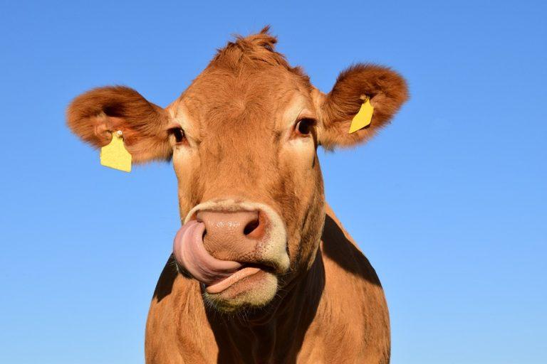 Житель Марий Эл расстроился, купив «виртуальную корову» в Татарстане