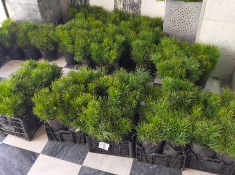 В Марий Эл готовят к посадке 1500 кедров для озеленения территорий